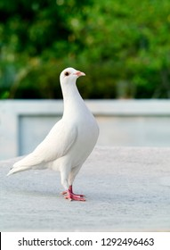 white feather of homing pigeon bird standing on home loft