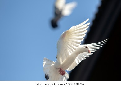 white feather homing pigeon bird flying agasint clear blue sky