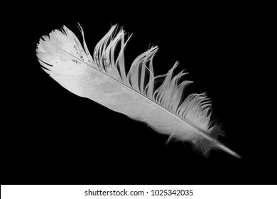 white feather on a black background