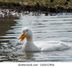 A White Female American Pekin Duck Swimming And Quacking In A Pond.  Smiling Concept.  Happy Concept.