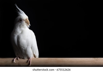 White female cockatiel isolated against a black background