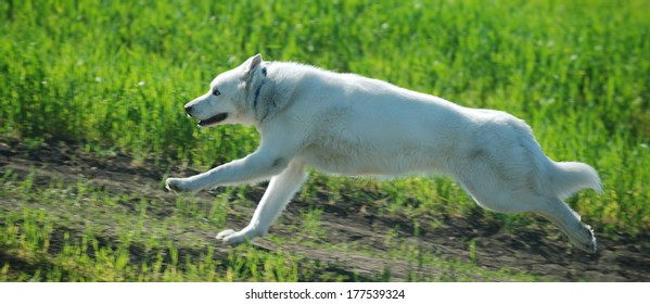 White female husky running on a green meadow