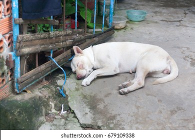White female Stray dog with scars abandoned on the ground close to blue metal gate in vietnam