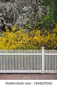 White fence, yellow forsythia and cherry blossoms. Early spring background