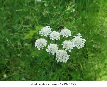 White field flower on background of green grass