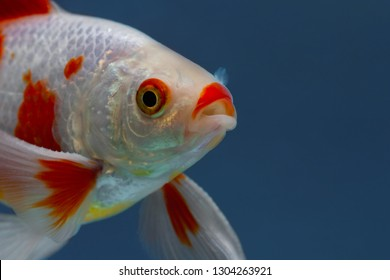 White fish with red spots on blue, Goldfish in fishtank, Macro closeup