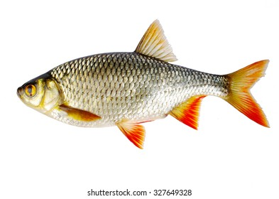 White fish. Scardinius erytrophalmus. Isolated on white.