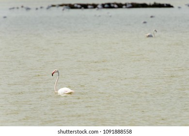 white flamingo in briny water of the lagoon, shot in bright spring sun light at Comacchio, Ferrara,  Italy
