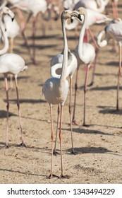 White flamingo on sand at a lagoon. Dubai