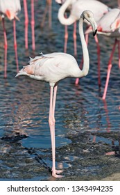 White flamingo at the waterfront looking for food. Dubai