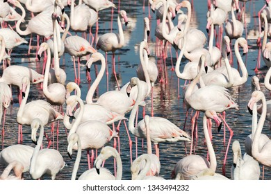 White flamingos in the waterfront looking for food. Dubai