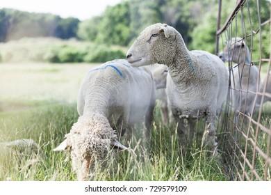 A white fleecy sheep sticks his nose through a fence to sniff a brown and white sheepdog