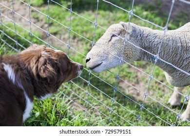 A white fleecy sheep sticks his nose through a fence to sniff a brown and white sheepdog