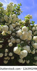 """White, floral balls hanging a shrub. Masses of large snowball flower clusters. Tons of gorgeous pom-pom flowers. Bush covered with masses of white """"snowball"""" clusters, contrasting with green leaves"""