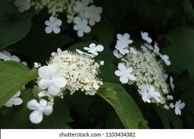 white flover plant