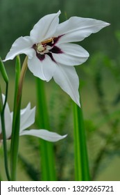 White flower of abyssinian gladiolus