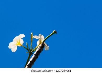 White flower against the blue sky, Moalboal, Cebu, Philippines. Isolated on blue background