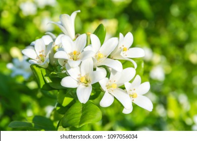 White flower of Andaman satinwood, Chanese box tree, Cosmetic bark tree, Orange jasmine, Orange jessamine, Satin wood (Murraya paniculata Jack)
