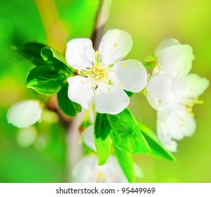white flower of apple tree close up