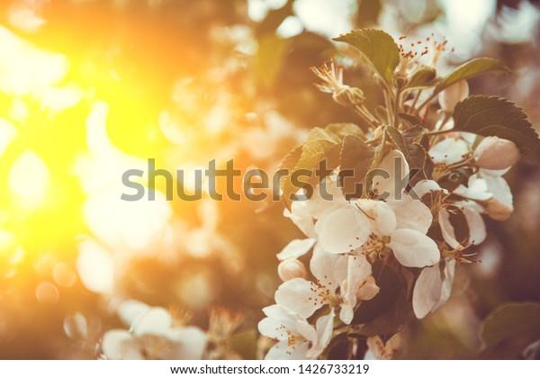White Flower Apricot Tree Closeup On Stock Photo Edit Now
