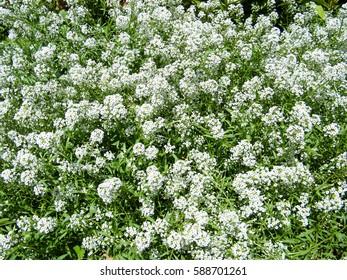 White flowers sweet alison lobularia maritima stock photo edit now white flower bed mightylinksfo