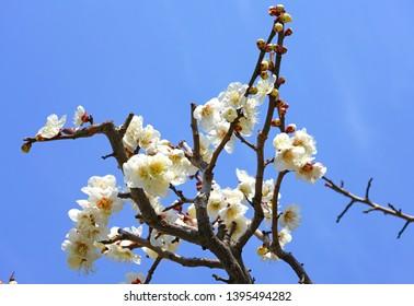 White flower blooms of the Japanese ume apricot tree, prunus mume, in winter in Miyajama, Japan