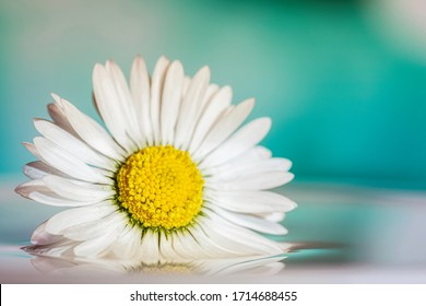 White flower called daisy elegant and surprisingly beautiful with buds on a blue and cyan blurred background. Artistic, magical, airy, graceful nature image. Macro photo.