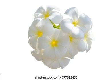 White flower, Close up petal of white Plumeria flower or white flower isolated use for web design and white flower background