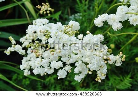 White flower clusters fernleaf dropwort filipenda stock photo edit white flower clusters of fernleaf dropwort filipenda vulgaris mightylinksfo