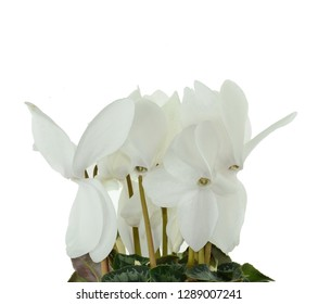 White flower of cyclamen in a pot isolated on white background. Persian cyclamen flower. Beautiful and bright cyclamen, background, flowers and pots, spring plant, nice gift .