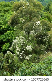 white flower of cypress tree Taiwan