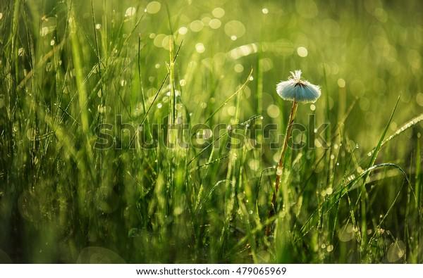 White flower in the dew morning grass.