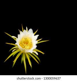 White flower of Dragonfruit over black background