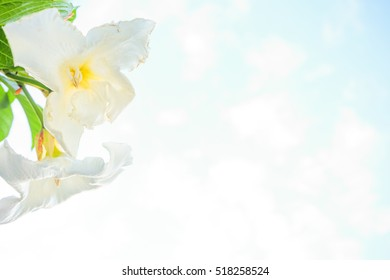 White flower Easter Lily Vine on sky with cloud  background
