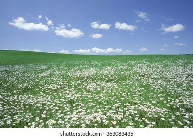 White flower field