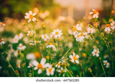 White Flower Field, Flower Field With Warm light