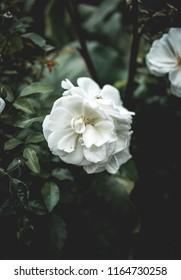 White flower framed centrally with moody dark leaves
