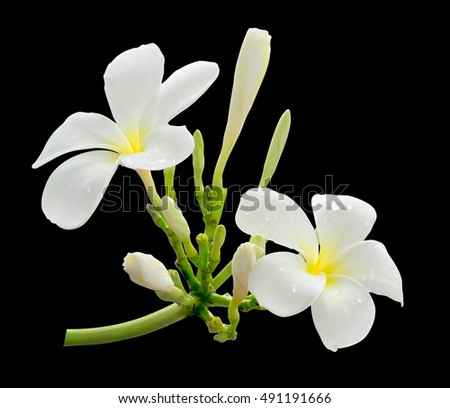 White flower frangipani plumeria flower hawaii stock photo edit now white flower frangipani plumeria flower hawaii bali shri lanka tropical mightylinksfo