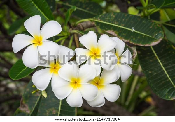 White flower of Frangipani, Plumeria, Temple Tree, Graveyard Tree (Plumeria)