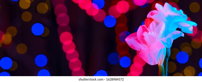 White flower fresia lit by neon. In the background are multicolored sides. The concept for Valentine's Day. Banner