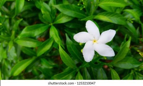 White flower in the garden called Sampaguita, White Jasmine, Gardenia Crape Jasmine or Gardenia Jasminoides.