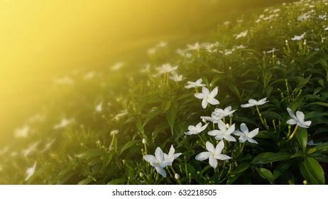 White flower in the garden (yellowish dreamy tone)
