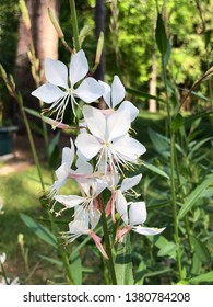 White flower of Gaura lindheimeri or Whirling Butterflies on the garden and pine trees background, Spring in Georgia USA.
