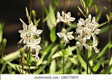 White flower of Gaura lindheimeri or Whirling Butterflies on blurred garden background, Spring in Georgia USA.