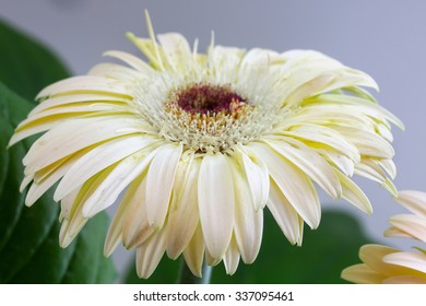 white flower of gerbera. Close up shoot
