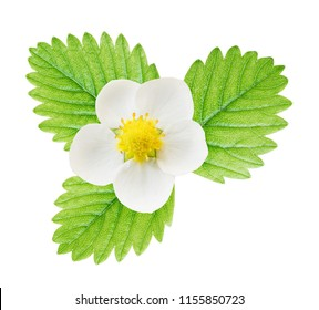 White flower and green leaf of strawberry isolated on white background