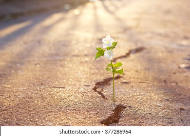 white flower growing on crack street at sunset background, warm color tone and soft focus