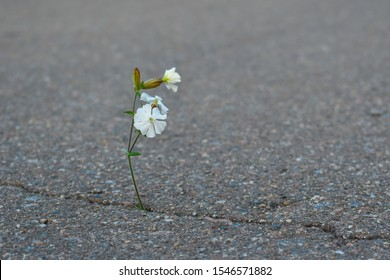 White flower grows from asphalt. A wild thin flower sprouts through the road. Life is made of stone. Flowers grow on the stone. Love of life.