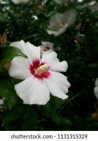 White flower hibiscus