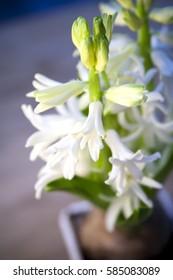 white flower hyacinth in sunlight for Easter
